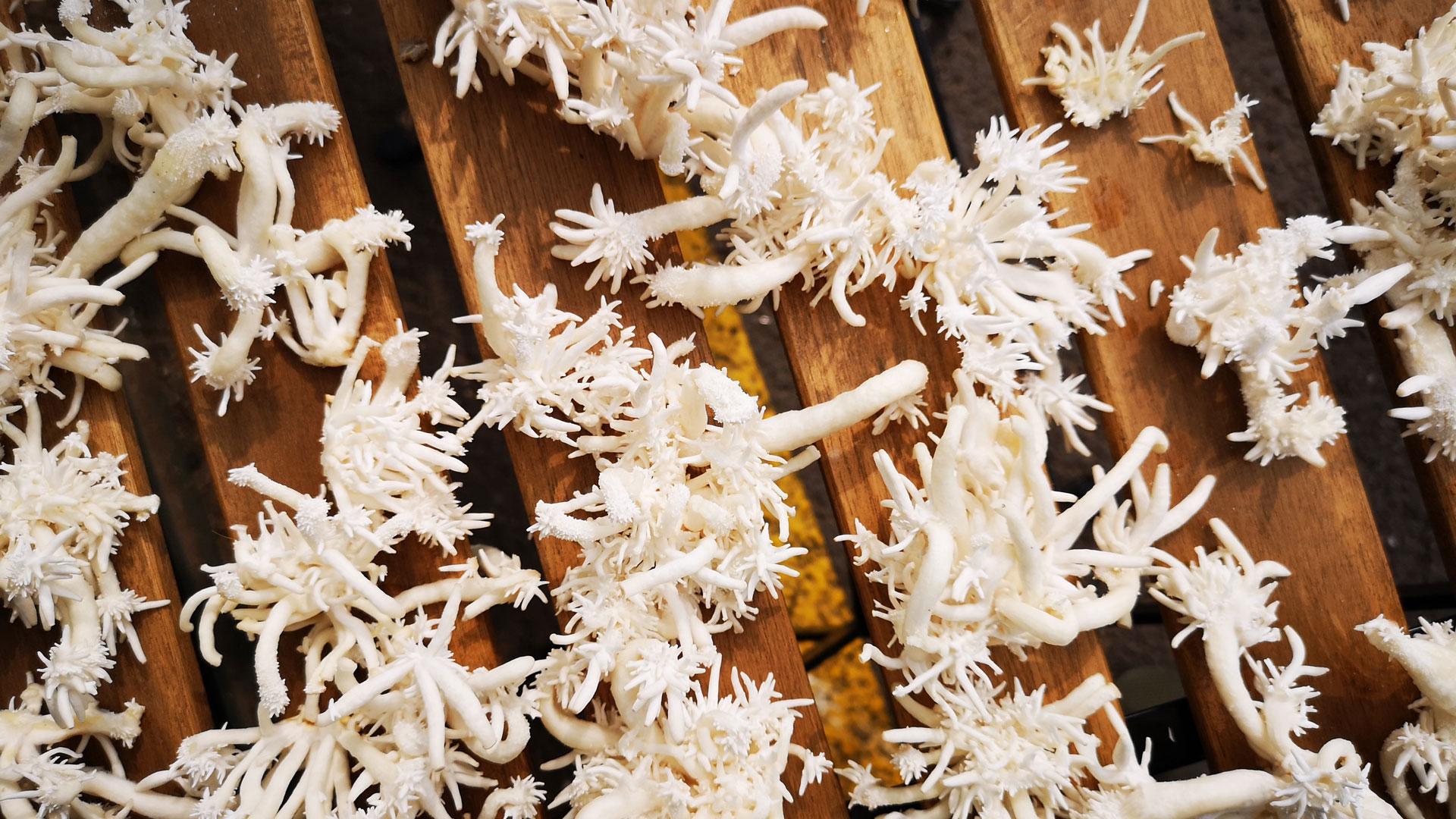 Mycelium fungi growths